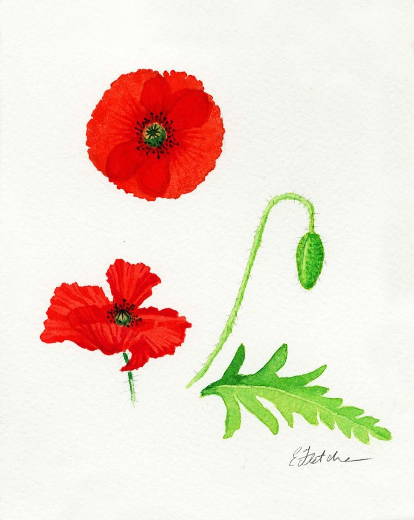 Watercolour Poppies 4 (1)